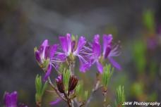 Flowers- Schoodic Point, ME