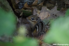 Chipmunk in the Leaves- Windham, NH