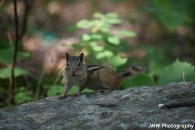 Chipmunk- Windham, NH