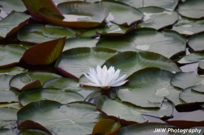 Water Lily- Windham, NH