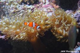 Clownfish- New England Aquarium