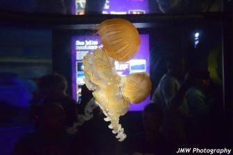 Jellyfish- New England Aquarium