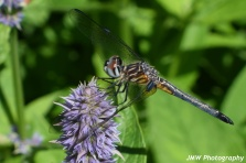 Dragonfly- Somesville, ME