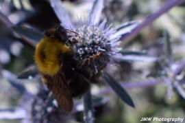 Bumblebee- Southwest Harbor, ME