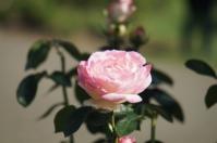 Portland Rose Garden- Oregon