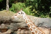 JMW Giraffe CloseUp