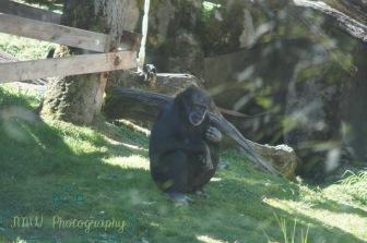JMW Gorilla