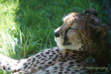 JMW Leopard
