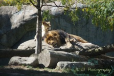 JMW Lion
