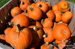 Pumpkins- Londonderry, NH