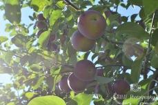Apples- Londonderry, NH