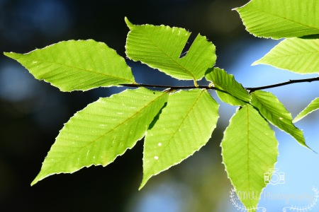 Beech Leaves in the Sun- Acadia National Park