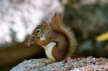 Red Squirrel- Acadia National Park