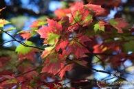 Tie Dye Maple Leaves- Acadia National Park