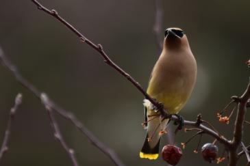 Cedar Waxwing-B001