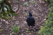 Raven-B014