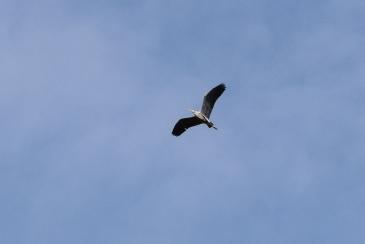 Blue Heron-B016