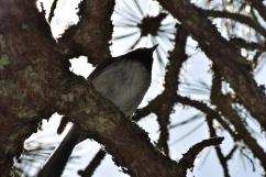 Chickadee-B024
