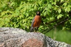 Robin-B027