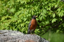 Robin-B028