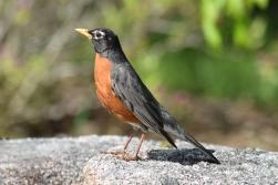 Robin-B029