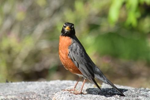 Robin-B030