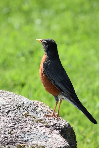 Robin-B031