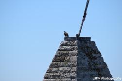 Bald Eagle-B033