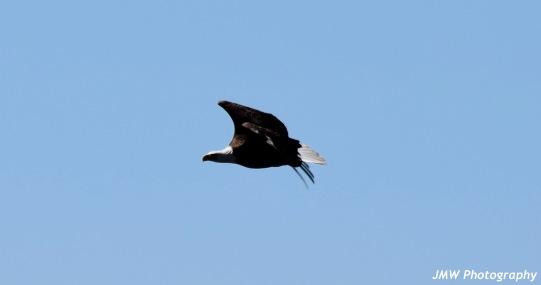 Bald Eagle-B034