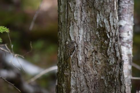 Hiding bird-B036