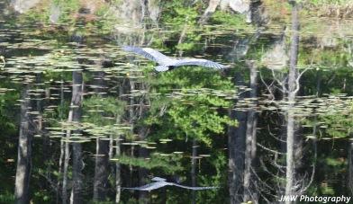 Blue Heron-B043