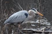 Blue Heron-B049