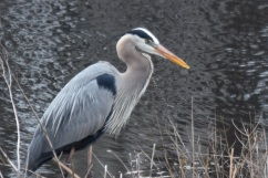 Blue Heron-B050