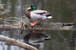 Duck-B051