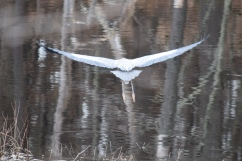 Blue Heron-B052