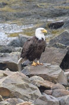 Bald Eagle-B064
