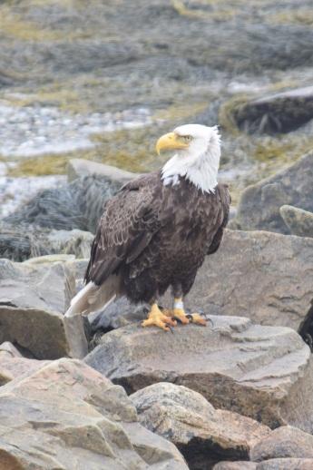 Bald Eagle-B065