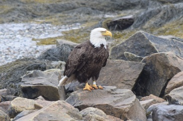 Bald Eagle-B066