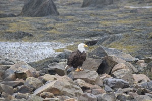 Bald Eagle-B067