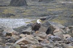 Bald Eagle-B068