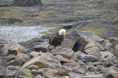 Bald Eagle-B069