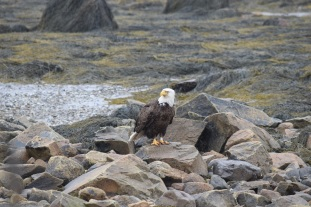 Bald Eagle-B070