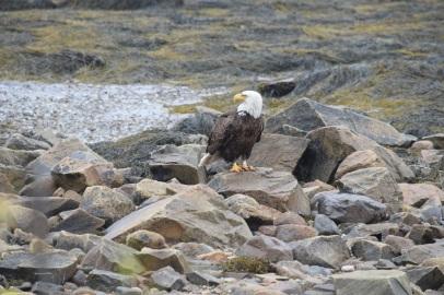 Bald Eagle-B071