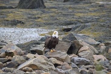Bald Eagle-B072