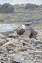 Bald Eagle-B073