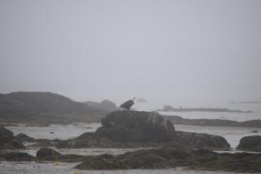 Bald Eagle-B074