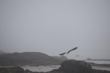 Bald Eagle-B075
