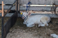 Cow-M005
