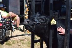 Cow-M008