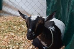 Goat-M010